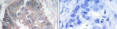 Immunohistochemistry (Paraffin-embedded sections) - Dab1 antibody (ab47483)