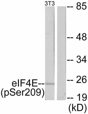 Western blot - eIF4E (phospho S209) antibody (ab47605)