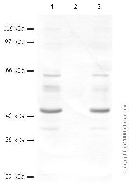 Western blot - SERPINB1 antibody (ab47731)