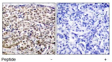 Immunohistochemistry (Paraffin-embedded sections) - CREB antibody (ab47781)