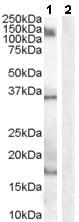Western blot - Iba1 antibody (ab48004)