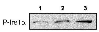 Western blot - IRE1 (phospho S724) antibody (ab48187)