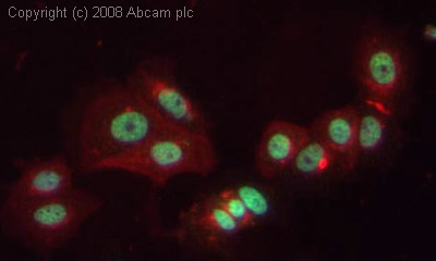 Immunocytochemistry/ Immunofluorescence - COBRA1 antibody (ab48336)