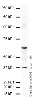 Western blot - COBRA1 antibody (ab48336)
