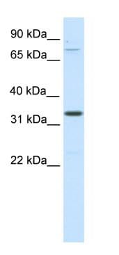 Western blot - Duxbl antibody (ab48344)