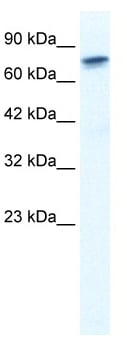 Western blot - RUNX2 antibody (ab48812)