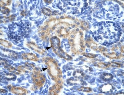 Immunohistochemistry (Paraffin-embedded sections) - OR13C9 antibody (ab48819)