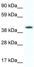 Western blot - FOXF1 antibody (ab48828)