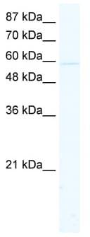 Western blot - KCNK10 antibody (ab48867)