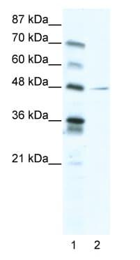 Western blot - NFIC antibody (ab48948)