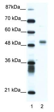 Western blot - FLI1 antibody (ab49045)