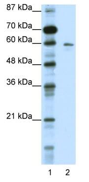 Western blot - KCNG1 antibody (ab49063)