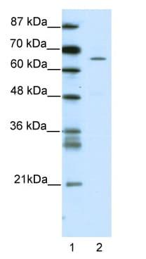 Western blot - ZNF205 antibody (ab49067)