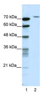 Western blot - TAF6 antibody (ab49076)