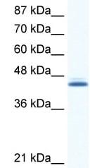 Western blot - ALX4 antibody (ab49107)