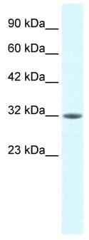 Western blot - Mortality Factor 4 like 2 antibody (ab49184)