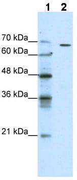 Western blot - GABRQ antibody (ab49188)