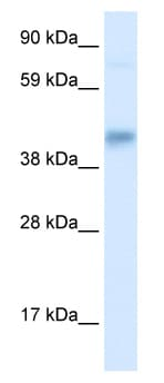 Western blot - SEC14 like protein 2 antibody (ab49350)