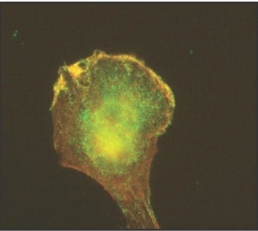 Immunocytochemistry/ Immunofluorescence - Arp3 antibody [FMS338] (ab49671)
