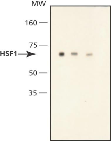 Western blot - HSF2 antibody (ab49995)