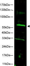 Western blot - FANCC antibody (ab5065)