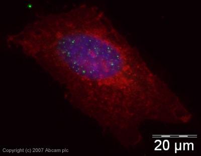 Immunocytochemistry/ Immunofluorescence - Histone H3 (citrulline 2 + 8 + 17) antibody [CitH3] - ChIP Grade (ab5103)
