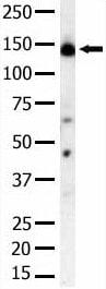 Western blot - PI 3 Kinase regulatory subunit 4 antibody (ab5459)