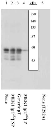 Western blot - Anti-MEK1 (phospho T292) antibody (ab5612)