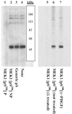 Western blot - Anti-MEK1 (phospho S298) antibody (ab5613)