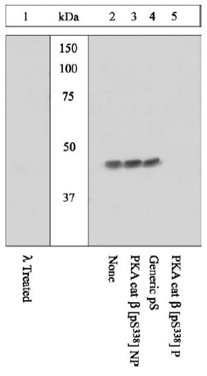 Western blot - Anti-PKA beta (catalytic subunit) (phospho S338) antibody (ab5816)