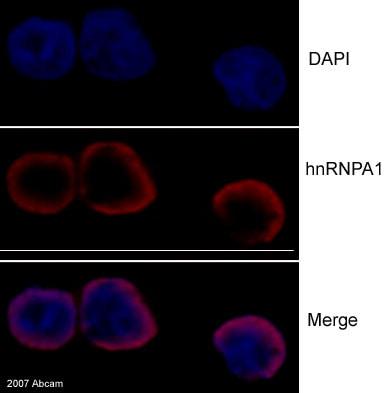 Immunocytochemistry/ Immunofluorescence - hnRNP A1 antibody [9H10] (ab5832)