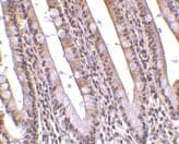 Immunohistochemistry (Formalin/PFA-fixed paraffin-embedded sections) - PHAP antibody (ab5987)