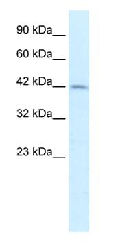 Western blot - PAX3 antibody (ab50193)