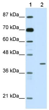 Western blot - HMBOX1 antibody (ab50392)