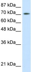 Western blot - ZBTB48 antibody (ab50588)