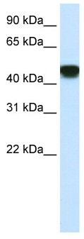 Western blot - SNAP43 antibody (ab50593)