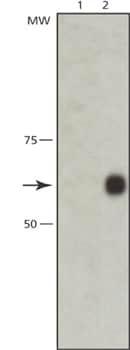 Western blot - NXF1 antibody [53H8] (ab50609)