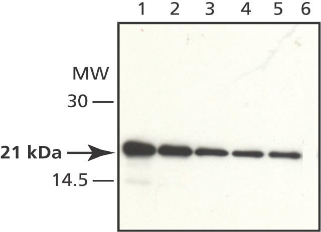 Western blot - AtRAC3 antibody (ab50678)