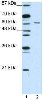 Western blot - Elav-type RNA-binding protein ETR3 antibody (ab50734)