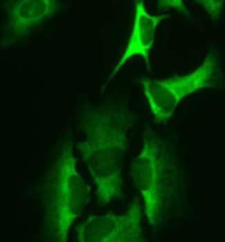 Immunocytochemistry - HARS antibody [HARSA6] (ab50835)