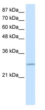 Western blot - C20orf20 antibody (ab50873)