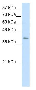 Western blot - GTP binding protein era homolog  antibody (ab50874)