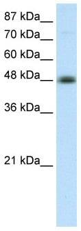 Western blot - AP2 beta antibody (ab50906)