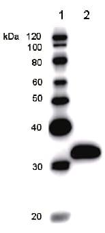 Western blot - MGA antibody [MGA6A4H5] (ab50937)