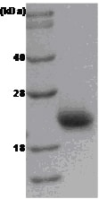 SDS-PAGE - Rac1 protein (ab51014)