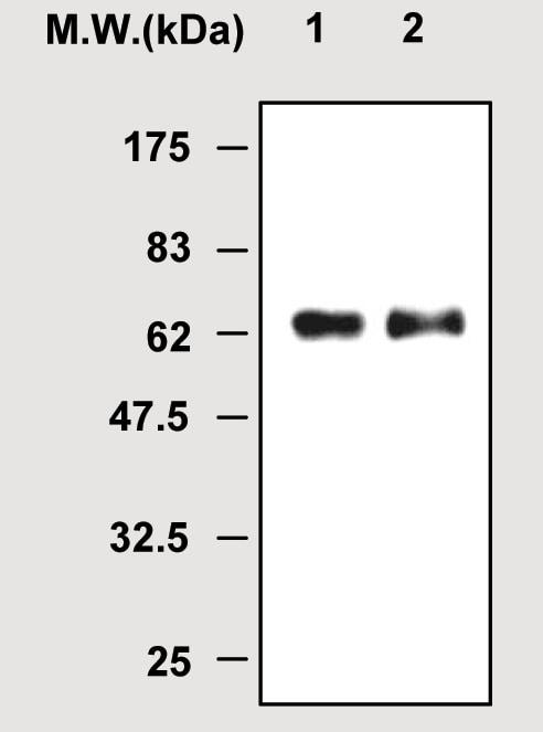 Immunoprecipitation - Myeloperoxidase antibody [1A1] (ab51065)