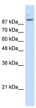 Western blot - Matrin 3 antibody (ab51081)