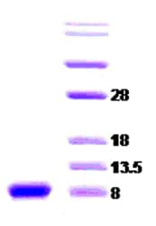 SDS-PAGE - alpha Synuclein protein (ab51176)