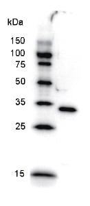 Western blot - PAX6 antibody [PAX5I326] (ab51358)