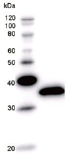 Western blot - RBPJK antibody [RPBS3D18] (ab51371)